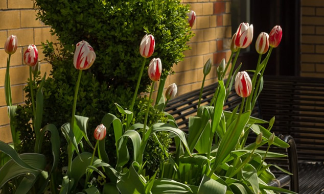Canada-150-Tulips-South-Granville-Vancouver-neighbourhood-0818-helena-mcmurdo-photo-crop-634x380