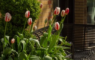 Canada-150-Tulips-South-Granville-Vancouver-neighbourhood-0818-crop-v2-1150x446